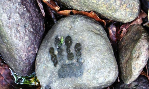 """This is a photograph of the right paw print of a Bioko drill (Mandrillus leucophaeus poensis) taken during primate census at the Gran Caldera, Bioko Island, Equatorial Guinea. ""Bushmeat hunting for drills and their consequent evasion of humans means the"