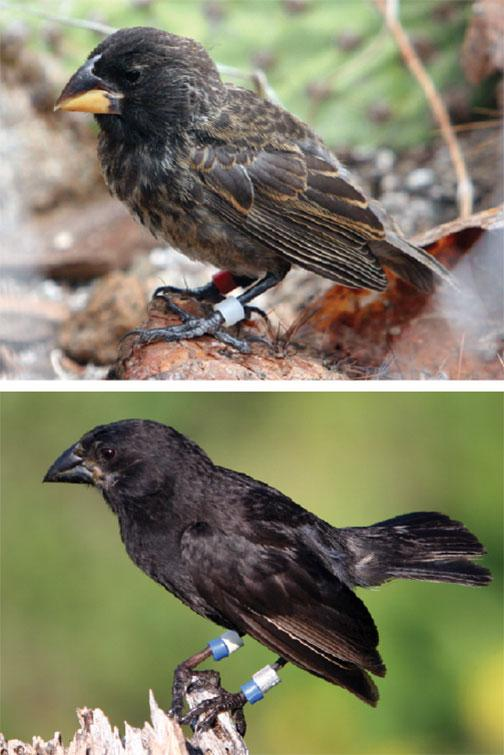 In 1981, a new bird — the Big Bird — arrived on Daphne; one is shown at top. Though still immature, it had a beak that was larger and blunter than a typical medium ground finch, shown above. A prolonged drought opened room in the ecosystem for a new,