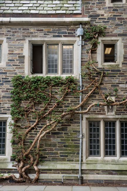 A Japanese climbing hydrangea, a creeping vine with its own tendrils that adhere to the walls, at Foulke Hall. These plants were trained to grow up the walls in the mid- to late-1920s, when Beatrix Farrand was landscaping that part of campus with her hea